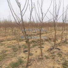 蘇翠二號梨樹苗、蘇翠二號梨樹苗價格圖片