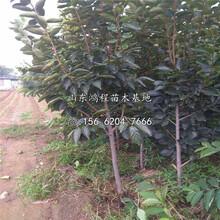 黑皮柿子苗、黑皮柿子苗出售图片