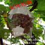 甜蜜蓝宝石葡萄苗价格品种最好的葡萄苗图片