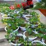 喜乐葡萄苗价格葡萄苗管理技术葡萄苗种植图片