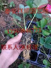 山东丰香草莓苗、丰香草莓苗产地在那里图片