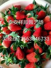 我想买甜查理草莓苗、甜查理草莓苗新品种推广苗木中心图片