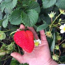 白雪公主草莓苗栽培技术白雪公主草莓苗批发基地图片