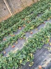 2018年奶油草莓苗、奶油草莓苗育苗注意事项图片
