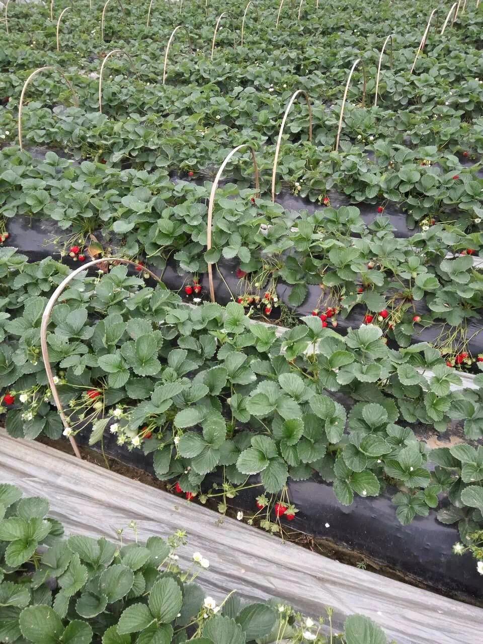 果树苗木 哪里出售法兰地草莓苗几月份结果  丰香草莓苗:果实大,平均