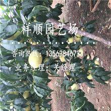 附(fu)近哪里有賣2年生桃樹苗(miao)栽培(pei)與種(zhong)植(zhi)圖片