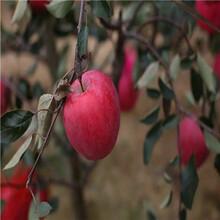 3公分苹果苗一棵多少钱、3公分苹果苗哪里的好图片