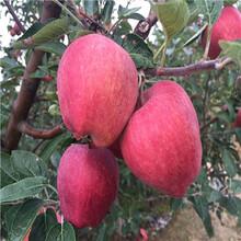美国8号苹果苗供应厂家、美国8号苹果苗求购图片