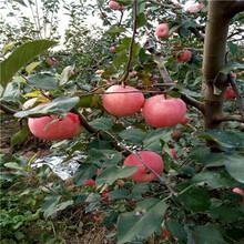 美国8号苹果苗附近哪里有、美国8号苹果苗种植技术图片