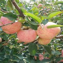 短枝苹果苗批发、短枝苹果苗什么时候种植好图片
