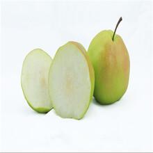 1公分嫁接梨树苗什么价格、1公分嫁接梨树苗哪里的好图片