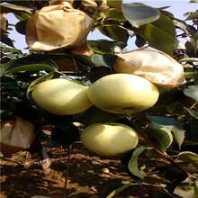 香水梨树苗简介、香水梨树苗主要种植产区图片