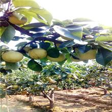 梨树苗出售价格、梨树苗咨询图片