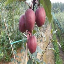 柱状梨树苗品种介绍、柱状梨树苗种植技术图片