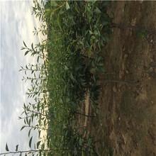 香水梨树苗附近哪里有、香水梨树苗批发基地图片