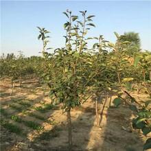 早红考密斯梨树苗出售价格、早红考密斯梨树苗价格行情图片