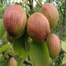 金果梨树苗供应厂家、金果梨树苗咨询图片