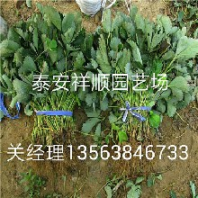 美莎草莓苗报价、美莎草莓苗品种怎么样图片