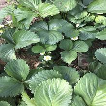 报价合理的温室草莓苗报价图片