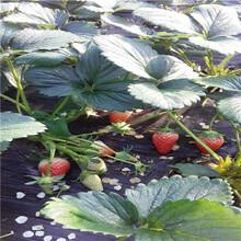 天仙醉草莓苗价格、天仙醉草莓苗出售图片