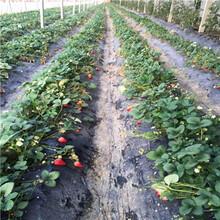 价格划算的奥巴草莓苗批发图片