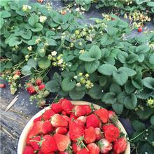 求购燕香草莓苗价格多少图片