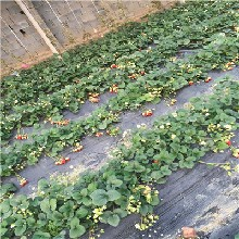 草莓苗多少钱一颗、草莓苗批发基地图片