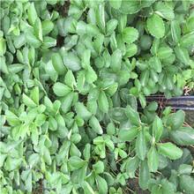山东丰香草莓苗价格多少图片