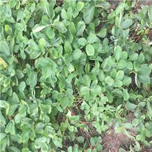 一流的白马王子草莓苗繁育基地图片