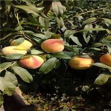 水蜜桃苗附近哪里有、水蜜桃苗可以做采摘园吗图片