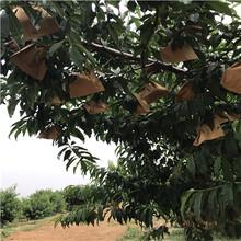 桃树实生苗出售价格、桃树实生苗什么时候种植好图片