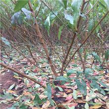占地桃树苗一亩地种多少棵、占地桃树苗可以做采摘园吗图片