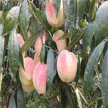 莱山蜜桃树苗什么时候种植好图片