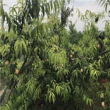 5公分占地桃树苗出售价格、5公分占地桃树苗图片图片