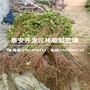 5公分占地香椿苗批发出售、5公分占地香椿苗附近这边的基地图片