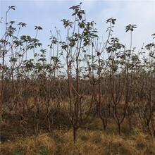 车厘子樱桃树苗多少钱一棵、车厘子樱桃树苗基地在哪图片