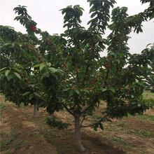 3年的甜樱桃苗多少钱一棵图片