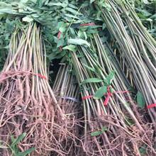 今年暖棚红油香椿苗近处哪里有图片