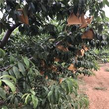 3公分矮化大樱桃苗哪里有卖、3公分矮化大樱桃苗近期报价图片
