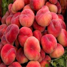 山东早熟油桃树苗卖什么价、早熟油桃树苗一棵多少钱图片