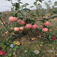 什么地方卖寒富苹果树苗√寒富苹果树苗种植基地图片