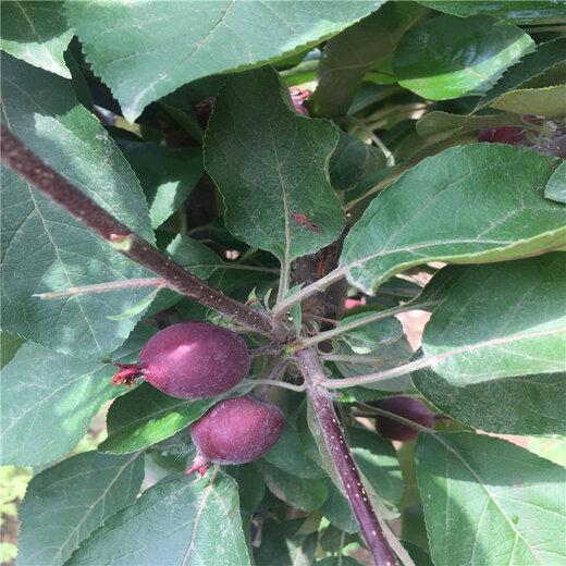 【嫁接新品种苹果树苗基地哪里有_嫁接苹果树苗种植技术】- 黄页88网