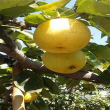 新品种红香酥梨树苗主产区红香酥梨树苗装车价图片