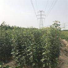 新品种早酥红梨苗好苗价格、早酥红梨苗出售图片