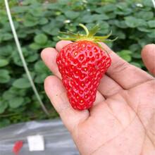 什么地方卖法兰地草莓苗种植基地图片