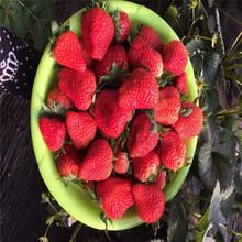 出售明宝草莓苗哪里的便宜图片