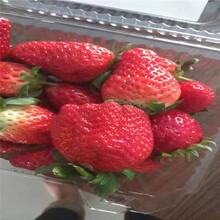 哪里有卖京藏草莓苗多少钱图片