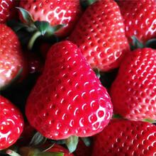 脱毒全明星草莓苗种植基地图片