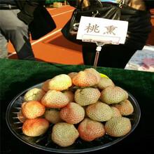 出售美莎草莓苗一棵多少钱图片