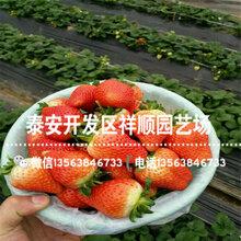 2019年甜宝草莓苗哪里有卖、2019年甜宝草莓苗批发基地图片